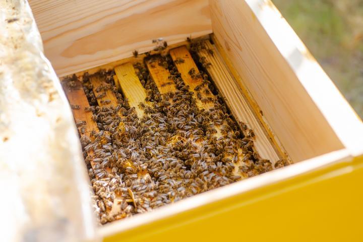 Propolis, für Bienen unverzichtbar