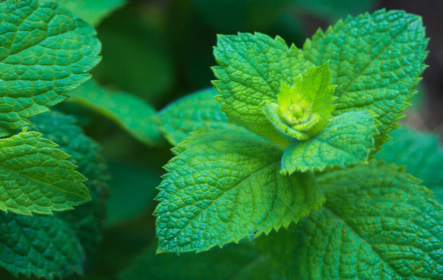 Pfefferminztee Aus Der Pflanze Mentha Piperita
