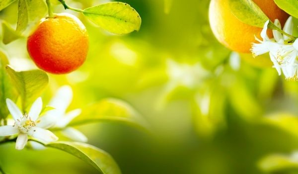 Mandarinenhonig lieblich und süß