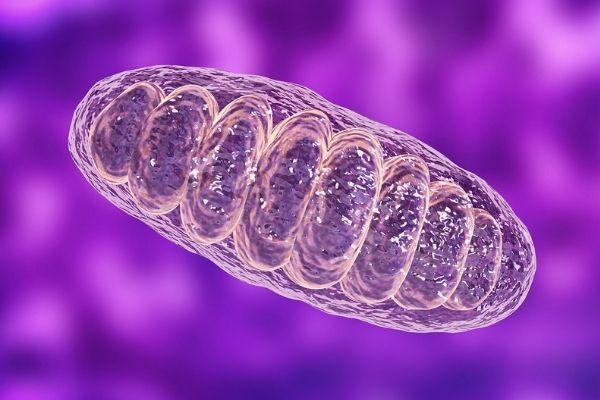 Mitochondrien. die Kraftwerke der Zellen